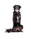 Goed - opgeleide Grens Collie Mix Breed Dog Begging stock afbeelding