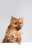 Goed verzorgde hond grooming Het verzorgen van een pomeranian hond Grappige pomeranian in het bad Hond die een douche nemen Hond  royalty-vrije stock afbeelding