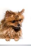 Goed verzorgde hond grooming Het verzorgen van een pomeranian hond Grappige pomeranian in het bad Hond die een douche nemen Hond  royalty-vrije stock fotografie