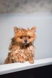 Goed verzorgde hond grooming Het verzorgen van een pomeranian hond Grappige pomeranian in het bad Hond die een douche nemen Hond  stock foto
