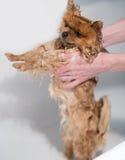 Goed verzorgde hond grooming Het verzorgen van een pomeranian hond Grappige pomeranian in het bad Hond die een douche nemen Hond  royalty-vrije stock afbeeldingen