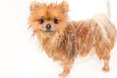 Goed verzorgde hond grooming Het verzorgen van een pomeranian hond Grappige pomeranian in het bad Hond die een douche nemen Hond  stock afbeeldingen