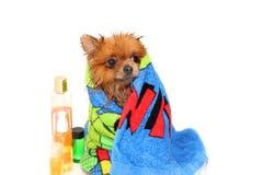 Goed verzorgde hond grooming Het verzorgen van een pomeranian hond Grappige pomeranian in het bad Hond die een douche nemen Hond  stock foto's