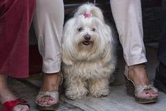 Goed verzorgde kleine witte Maltese hond royalty-vrije stock afbeelding