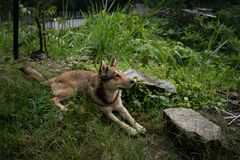 Goede Hond langs de Wandelingssleep van Colombia stock fotografie