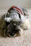 Miniatuur Hond Schnauzer Stock Afbeeldingen