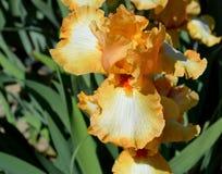 Goede Trillingen Gebaarde Iris stock foto's