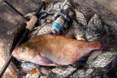Goede Vangst Enkel genomen uit de water grote zoetwater gemeenschappelijke die brasem als bronsbrasem of van de karperbrasem bram stock fotografie