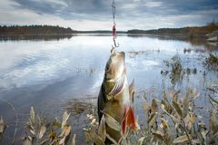 Goede visserij op Noordelijke rivieren, gevangen toppositie stock foto's