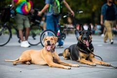 Goedgetrainde honden die hun Trainer uitvoeren die niet aan Mo vroeg Stock Afbeelding