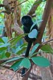 Goeldi小猿 免版税图库摄影