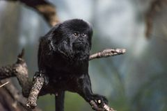 Goeldi monkey stock photo