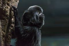 Goeldi monkey royalty free stock images