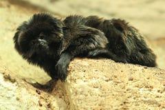 Goeldi's marmoset Stock Photos