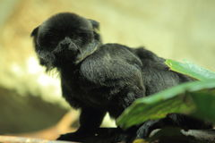 Goeldi's monkey Royalty Free Stock Photos