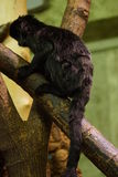Goeldi's Monkey - Callimico goeldii stock photography
