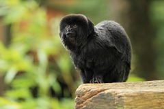 Goeldi's monkey Stock Image