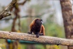 Goeldi-Seidenäffchen oder Goeldi-Affe Stockfoto