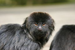 Goeldii's monkey Royalty Free Stock Photos