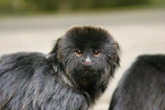 Goeldii's monkey. Portrait of Goeldii's monkey Royalty Free Stock Photos