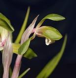 Goerings Cymbidium or Noble Orchid. Cymbidium goeringii Stock Photography