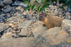 Curious wild gopher watches from some rocks. A wild gopher in his natural habitat, watching from the rocks above his hole royalty free stock images