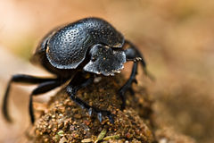 Gofer beetle Royalty Free Stock Images