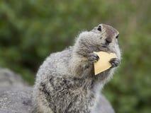 Goffer som äter ett stycke av ost Fotografering för Bildbyråer