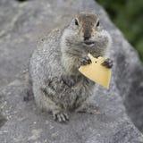 Goffer som äter ett stycke av ost Arkivfoto