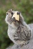 Goffer som äter ett stycke av ost Royaltyfria Bilder