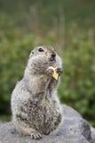 Goffer som äter ett stycke av ost Royaltyfri Fotografi