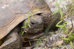 Goffersköldpadda royaltyfri fotografi