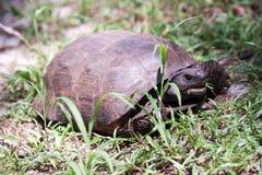 Goffersköldpadda arkivfoto