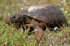 Goffersköldpadda (Gopheruspolyphemusen) royaltyfri fotografi