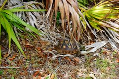 Goffersköldpadda i livsmiljö royaltyfri bild