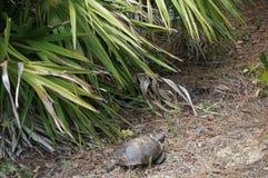 Goffersköldpadda i livsmiljö arkivfoto