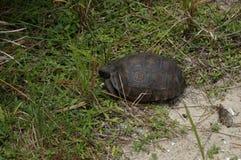 Goffersköldpadda i livsmiljö fotografering för bildbyråer