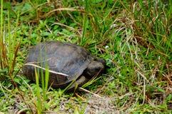 Goffersköldpadda i livsmiljö arkivbilder