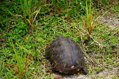Goffersköldpadda i livsmiljö royaltyfri foto