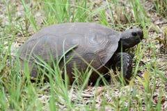 Goffersköldpadda som hem heading Arkivfoton