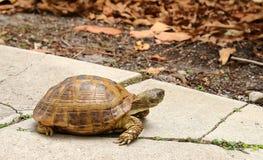 Goffersköldpadda som söker efter mat arkivfoto