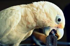 Goffin美冠鹦鹉鸟 库存图片