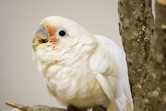 Goffin Cockatoo. Young Goffin Cockatoo Sitting on a Tree Perch Royalty Free Stock Image