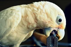 Goffin Cockatoo bird Stock Image