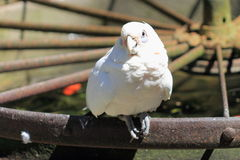 Goffin Cockatoo. The Tanimbar corella also known as Goffin's cockatoo or Goffin's corella, is a species of cockatoo endemic to forests of Yamdena, Larat and royalty free stock photos