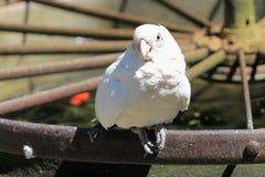 Goffin kakadu Zdjęcia Royalty Free