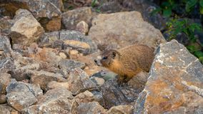Curious wild gopher watches from some rocks. A wild gopher in his natural habitat, watching from the rocks above his hole royalty free stock photos