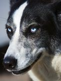 Dog with blue eyes. Royalty Free Stock Photos
