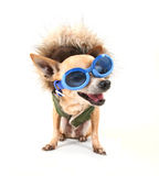 Goggle chihuahua Stock Photo