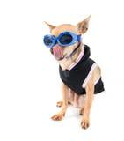 Goggle dog Stock Photo